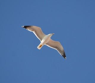 Yellow Legged Gull Fuengirola tagged