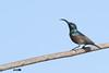 Loten's sunbird / Long-billed sunbird (harshithjv) Tags: bird birding lotens longbilled passeriformes nectariniidae cinnyris lotenius sunbird aves avian chordata canon 600d tamron bigron g2