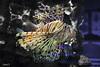 #2 (SaraVPolo) Tags: lion fish acuario acuarium pez leon veneno venom sea mar