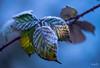 frozen leaves 霜葉 (T.ye) Tags: leaf frozen freeze leaves branch blue light outside ourdoor