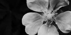 (frogghyyy) Tags: macro macrophotography bw blackwhite biancoenero flower fiore nature natureshot naturephoto canoneos1000d details dettagli monocromo