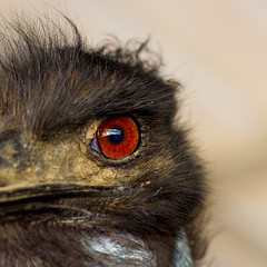 Earl the Emu (suzeesusie) Tags: emu animal bird wildlife eyes nature closeup rescue sanctuary animalsanctuary rescued california losangeles