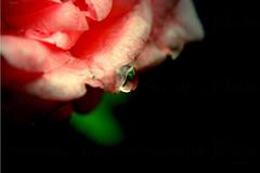 tear in the skin (Mauricio Silerio) Tags: waterdrop drop rose rosa flor fleur fiore gota plant nature naturaleza natural close up macro nikon sony alpha a5000 d3200
