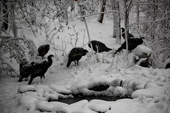 IMG_3605 (runtzka) Tags: kinburnproperty wildturkeys