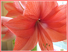 Nature's Perfect Petals (bigbrowneyez) Tags: amaryllis flowers petals elegant elegance romantic transparent stripes nature fiori fioro bello bellissimo macro sweet dolce pretty lovely gorgeous beautiful delightful delight naturesperfectpetals fresh natura precious momshouse gift regalo light luce