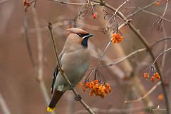 Jaseur Boréal (Franck Sebert) Tags: jaseur boréal bombycilla garrulus bohemian waxwing pestvogel bird oiseau europe wild wildlife 5d mark iii ef400mm f28 ef14x