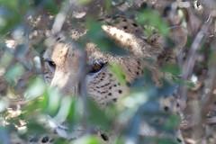 Cheetah hiding in the bushes