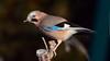 DSC_9437 (sylvettet) Tags: bird jay nikond5100 2016 geaideschênes oiseau nature extérieur garrulusglandarius