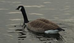 Canada Goose (Robert & Pamela) Tags: goose scotland wildlife birds figgatepark