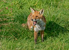 JWL5399 Red Fox .. (jefflack Wildlife&Nature) Tags: redfox fox foxes moorland mammal marshland meadows animal animals wildlife woodlands parklands countryside nature ngc