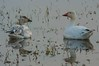 Winter hangout.IMGP2891 (candysantacruz) Tags: birds snowgeese mercedwildliferefuge water winter