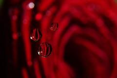 """Drip, drip, drop Little April shower""_DSC0251 (ikerekes81) Tags: drip droplittleaprilshower dripdripdroplittleaprilshower flower redflower rose redrose macro extensiontube extremecloseup extrememacro macromonday lightbox nikond3200 nikon d3200 sb700 reflection flora"