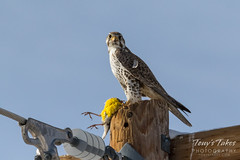 Prairie Falcon shows off its catch