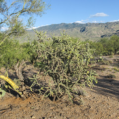 It's a tumbleweed, a firework, a cholla. (Tim Kiser) Tags: 2015 20151003 arizona arizonalandscape cylindropuntia img4282 micaviewtrail october october2015 parkinsonia pimacounty pimacountyarizona rinconmountaindistrict rinconmountaindistrictlandscape rinconmountaindistrictofsaguaronationalpark rinconmountains rinconmountainslandscape saguaronationalpark saguaronationalparkeast saguaronationalparklandscape saguaroparkeast tucsonmetropolitanarea cholla chollacactus chollalandscape desert desertlandscape desertplants dirt distantmountains gravel landscape mountainlandscape mountains nationalpark nationalparklandscape paloverde paloverdetree park southarizona southeastarizona southeasternarizona southernarizona sunny view tucson unitedstates us