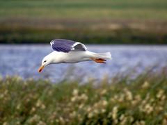 Gull (stuartcroy) Tags: orkney island gull seagull beautiful blue bird scotland sea sony