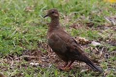Eared Dove (Charadriimaniac) Tags: flickr trinidadtobago2016 eareddove lowlands westerntobago trinidadandtobago tt