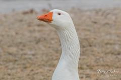 A handsome Emden Goose