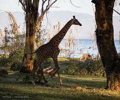 Early morning on the grounds of the Sopa Lodge (mirsasha) Tags: kenya january 2017 giraffe lakenaivasha sopalodge masaigiraffe