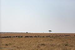 Buffalo (mirsasha) Tags: january kenya africanbuffalo 2017 masaimara narokcounty ke
