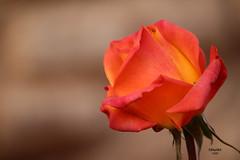 For the Obamas (eMMa_bOOm) Tags: rose obama tribute holland orange coloured colour dof tributetomrandmrsobama appreciation sooc marrakech garden city hues