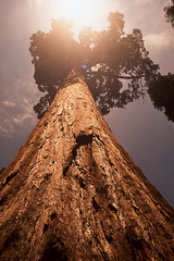 God Speaks from the Top of a Redwood (carlfieler) Tags: redwood yosemite redwoods nature tree fujifilm velvia50 sun sunbeam sunflare analog 35mmfilm canona1 28mm 28mmlens california