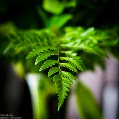 Fern Frond (lynnlodge) Tags: leaf fern frond green spores verdant forest