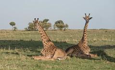 Giraffe resting (Tris Enticknap) Tags: africa giraffe kenya nikkor80400mmafslens nikond750 maranorthconservancy masaigiraffe giraffacamelopardalis