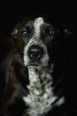 Attie Low Key 4 (brockdestiny1) Tags: dog pitbull mutt pitbullmix portrait petphotography edited warm nikond3200 nikon 50mm naturallight dark lowlight highcontrast