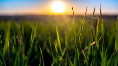 Herbe du soir (jerema) Tags: soleil flou herbe couch