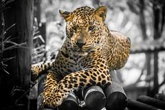 panther Zoo St Martin la plaine (Andy. LATHAUD) Tags: andy nikon d750 lathaud