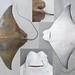 Rhinoptera jayakari