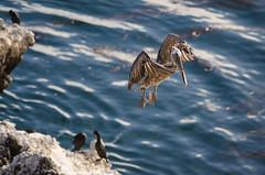 conduct (nosha) Tags: california ca blue seascape bird water beautiful beauty animal landscape coast wildlife flight pelican shore lobos pointlobos