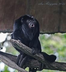 howling monkey (aburayyan) Tags: plants nature animals zoo nikon df singapore nocturnal wildlife safari fullframe nikkor fx creatures dx rarity d600 d810