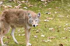 Suburban Coyote (polson_mark57) Tags: coyote fall leaves eyes suburban plymouth mn slink