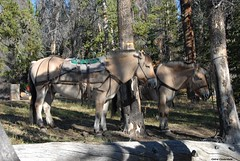 Butch and Sundance (PhotoCet) Tags: horses horse caballo cheval fjord sundance cavallo pferd butch packhorse hestur packpony photocet
