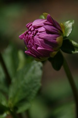 IMG_1021 (krissos.photography) Tags: dahlia flowers flower nature minnesota landscape photography arboretum naturephotography 2015 dalias seasonsummer minnesotalandscapearboretum minnesotaarboretum monthjuly sandiashomei dahliasandiashomei sandiashomeidahlia