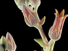 2015-10-31-14.55.41 ZS PMax Dudleya lanceolata-1 (John Rusk) Tags: iso100 plantae crassulaceae rosales dudleya dudleyalanceolata magnoliophyta magnoliopsida tracheophyta taxonomy:class=magnoliopsida taxonomy:order=rosales taxonomy:kingdom=plantae taxonomy:family=crassulaceae lanceleafliveforever fstopf4 taxonomy:phylum=magnoliophyta taxonomy:species=lanceolata zerenestacker lanceleaveddudleya canonfd100mmmacrolens taxonomy:genus=dudleya taxonomy:binomial=dudleyalanceolata taxonomy:common=lanceleafliveforever taxonomy:common=lanceleaveddudleya taxonomy:superphylum=tracheophyta stackof14images olympuspenepl7body shutterspeed16seconds