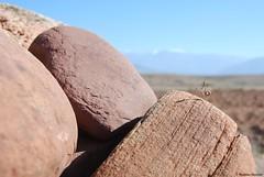 Empuse - Empusa pennata (Mathias Dezetter) Tags: wild animal fauna montagne mantis insect landscape pierre wildlife praying maroc atlas marrakech paysage animaux insecte roche mante faune mantes prdateur arthropode invertbr