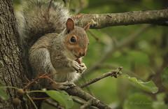 Baby Squirrel (hfpicc) Tags: nature squirrel wildlife babysquirrel squirrelinatree squirreleatingacorn heidipiccerelliphotography wildlifeinri