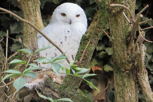 Snowy Owl at Banham Zoo