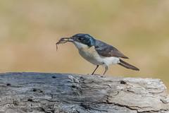 cmorecroft_photo_150801_9134 (Chris Morecrofts - Australian Bird Images) Tags: bird australia flycatcher leaden chrismorecroft