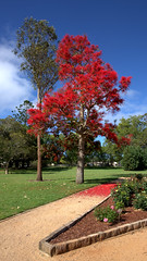 QLD STATE ROSE GARDEN,  ILLAWARRA FLAME TREE (16th man) Tags: canon eos australia qld queensland jacaranda toowoomba jacarandatree newtownpark illawarraflametree eos5dmkiii qldstaterosegarden fflametree