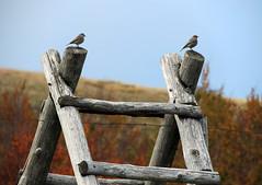 Sentinelle (anto_gal) Tags: uccelli firenze toscana autunno montagna casentino arezzo pratomagno valdarno 2015 lorociuffenna