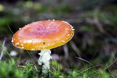 IMG_3028-Modifier (mycenium) Tags: mushroom automne canon belgium belgique region foret brabant champignon 6d wallon wallonie 2015 grez grezdoiceau wallone doiceau