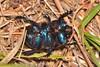 Geotrupes (Geotrupes) ibericus Baraud, 1958 (Jesús Tizón Taracido) Tags: coleoptera polyphaga scarabaeiformia scarabaeoidea geotrupidae geotrupesibericus