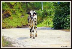 Bovine nervousness (Khalil Sawant) Tags: maharashtra ahmednagar sahyadri bhandardara akole