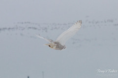 Snowy Owl takes flight