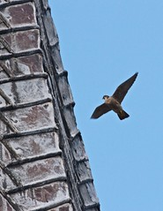 Peregrine Falcon (Rons Images) Tags: bird spire falcon ornithology chesterfield birdofprey peregrine churchspire canoneos7d rontoothill ef100400mmf4556lisiiusm
