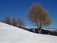 Melèze en hiver (JMVerco) Tags: snow tree landscape switzerland suisse neve neige paysage albero arbre paesaggio coth swizzera sailsevenseas