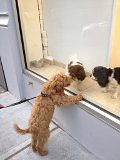 bui-taunting-the-puppies-in-the-window_7145433269_o